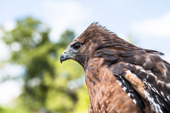 Red Shouldered Hawk captive. A Red Shouldered Hawk in captivity stock photos