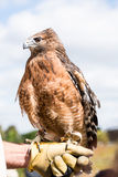 Red Shouldered Hawk captive Stock Photo