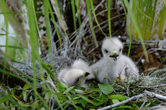 Red-shouldered Hawk Chicks. A pair of Red-shouldered hawk chicks wait for mama to return Royalty Free Stock Photo