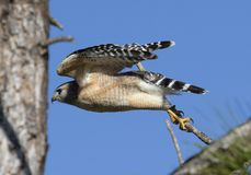 Red shouldered hawk close up. A close up of a red shouldered hawk with a blue sky in the background, Florida, USA stock photos