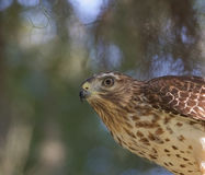 Red Shouldered Hawk. Close up of Red Shouldered Hawk with brush blurred background stock images