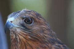 Red-Shouldered Hawk. This is a close-up of a Red-Shouldered Hawk Royalty Free Stock Image