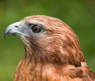 Red Shouldered Hawk Close-up Stock Photography