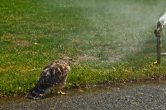 Red Shouldered Hawk cooling off on a warm summer day. Royalty Free Stock Photos