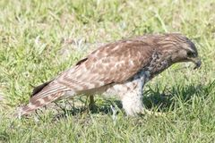 Red Shouldered Hawk. Eating a bug Stock Images