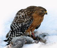 Red Shouldered Hawk. Eating his prey in the snow royalty free stock image