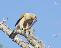 Red  Shouldered Hawk. Feeding on Snake Stock Photography