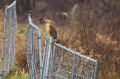 Red-shouldered Hawk on Fence Stock Photo