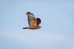 Red Shouldered Hawk Stock Image
