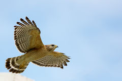 Red Shouldered Hawk in Flight Stock Images