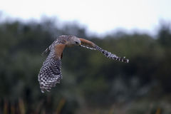 Red shouldered hawk. A red-shouldered hawk in flight Stock Images