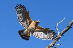 Red Shouldered Hawk. In Flight against blue sky approaching a tree for stock photo