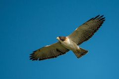 Red shouldered hawk in flight Royalty Free Stock Image