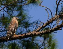 Red-shouldered Hawk Florida. A Red-shouldered Hawk rests high on a tree perch watching the trailhead near closing time of the Brooker Creek Preserve offsite Stock Photo