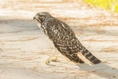 Injured Red Shouldered Hawk Florida. Photo I shot of an injured Red shouldered Hawk I found and reported outside of Valentines Park in Orange City Florida Royalty Free Stock Photo
