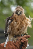 Red Shouldered Hawk on Glove Stock Photos