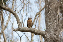 Red Shouldered Hawk. Enjoying his catch Royalty Free Stock Image