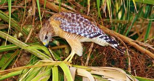 Red-shouldered Hawk Stock Image