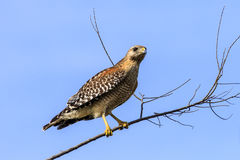 Red Shouldered Hawk. This image of a Red Shouldered Hawk was captured in Florida at the Celery Fields near Sarasota.  The photograph was taken in early morning Stock Image
