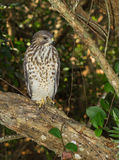 Red Shouldered Hawk Stock Photo