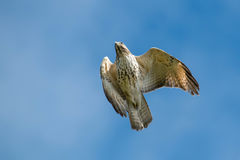 Red-shouldered Hawk. Juvenile Red-shouldered Hawk flying across a clear blue sky. Rosetta McClain Gardens, Toronto, Ontario, Canada royalty free stock photos