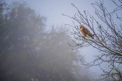 Red-Shouldered Hawk in Lake Hills, Texas stock photo