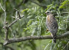 Red-shouldered Hawk at Lettuce Lakes Park, FL Stock Photography