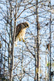 RED SHOULDERED HAWK LOOKING DOWN. A RED SHOULDERED HAWK LOOKING DOWN AT THE GROUND FROM A TREE BRANCH royalty free stock images