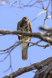 Red Shouldered Hawk Looking Down Royalty Free Stock Photos