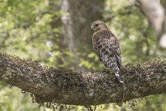 Red Shouldered Hawk. Perched on branch royalty free stock photography