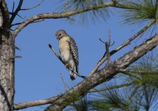 Red shouldered hawk on branch. A red shouldered hawk perched on a branch, Florida, USA stock image