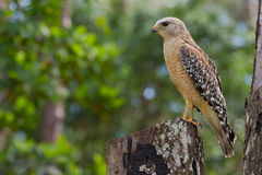 Red-Shouldered Hawk. Perched on a logged tree trunk Stock Images