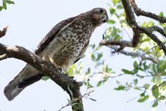 Red Shouldered Hawk. Perched looking for prey Stock Photos