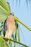 Red-shouldered Hawk. Perched on Palm tree branch, southwest Florida Stock Photography