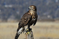 Red shouldered hawk. Perched on post Stock Photography