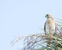 Red-shouldered Hawk. Perched on a tree branch royalty free stock photo