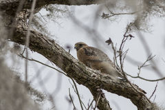 Red Shouldered Hawk. Perched on tree branch stock images
