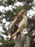 Red Shouldered Hawk Perched. Young red shouldered hawk perched on wooden fencepost royalty free stock images