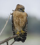 Red Shouldered Hawk Perching Royalty Free Stock Images