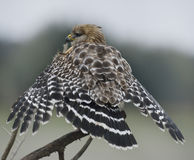 Red Shouldered Hawk Perching Stock Image