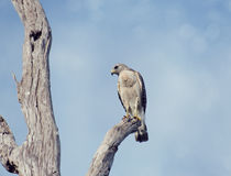 Red-Shouldered Hawk. Perching On A Tree stock photo