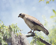 Red-Shouldered Hawk Perching Royalty Free Stock Images