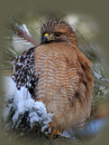Red Shouldered Hawk. In a Pine tree stock image
