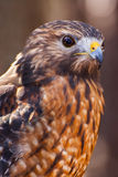 Red Shouldered Hawk. A portrait of a Red-shouldered hawk Royalty Free Stock Photos