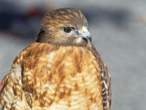 Red-Shouldered Hawk. Portrait Stock Images