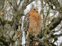 Red-Shouldered Hawk. A red-shouldered hawk poses for a few pictures Royalty Free Stock Image