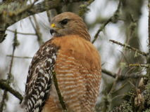 Red-Shouldered Hawk. A Red-Shouldered Hawk poses for some pictures at the Ridgefield National Wildlife Refuge Royalty Free Stock Photography