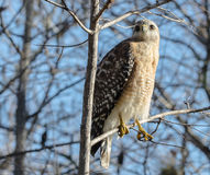 RED SHOULDERED HAWK POSING IN A TREE. LOOKING UP AT A RED SHOULDERED HAWK IN A TREE Royalty Free Stock Photography
