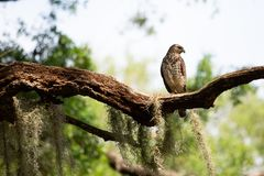 Red Shouldered Hawk. Perched looking for prey Royalty Free Stock Photos