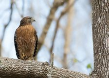 Red Shouldered Hawk. Perched on tree limb enjoying his Crawdad catch Stock Photos